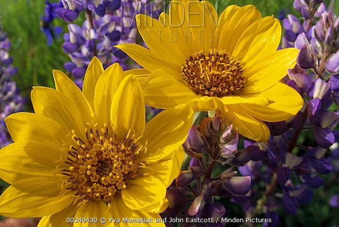 Common Sunflower (Helianthus annuus) flowers and Large-leaved Lupine (Lupinus polyphyllus) in summer, Pryor Mountain, Montana  -  Yva Momatiuk & John Eastcott