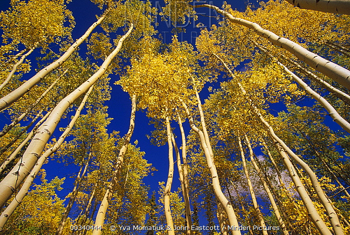 Quaking Aspen (Populus tremuloides) trees in fall color, view looking up from forest floor, Yukon, Canada  -  Yva Momatiuk & John Eastcott