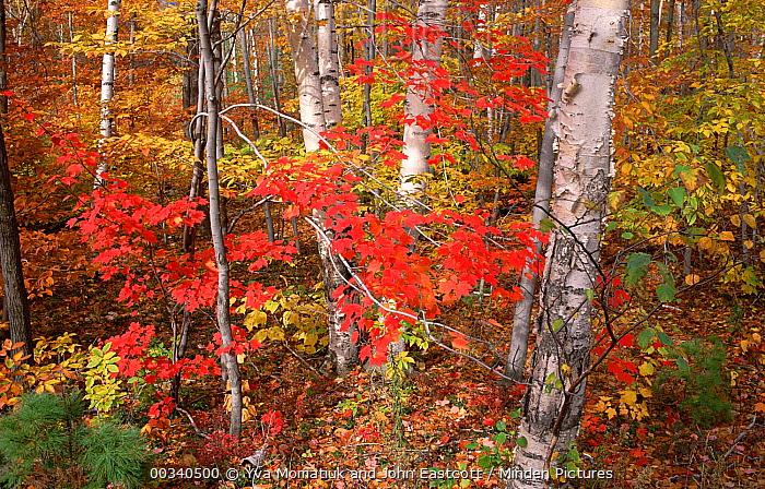 Maple (Acer sp) trees Ash, Birch trees in autumn, Vermont  -  Yva Momatiuk & John Eastcott