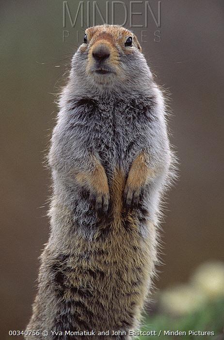 Arctic Ground Squirrel (Spermophilus parryii) alert adult, summer, Denali National Park and Preserve, Alaska  -  Yva Momatiuk & John Eastcott
