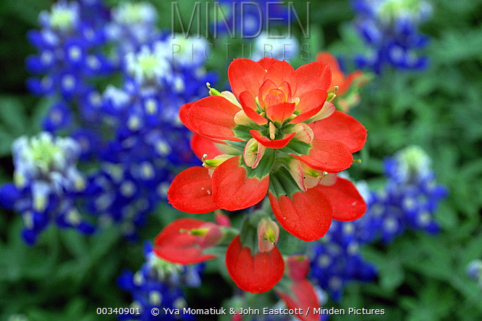Indian Paintbrush (Castilleja attenuata) in bloom, close-up, Hill Country, Texas  -  Yva Momatiuk & John Eastcott