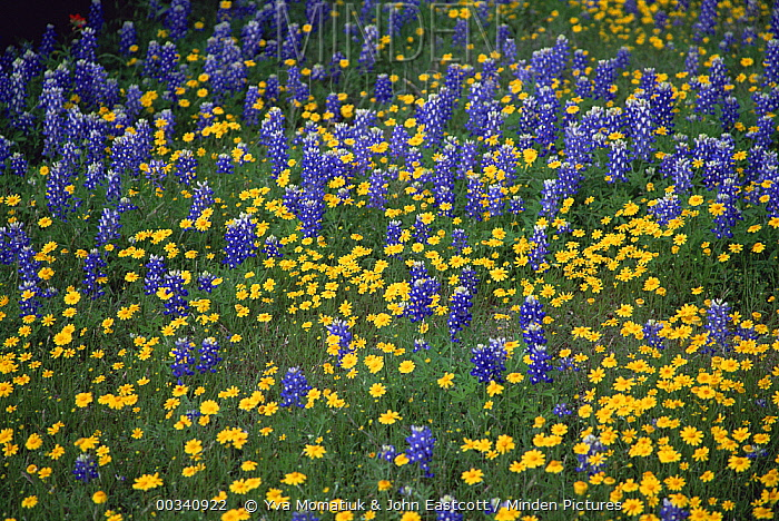 Texas Bluebonnet (Lupinus texensis) flowers and Desert Sunflowers (Geraea canescens), Hill Country, Texas  -  Yva Momatiuk & John Eastcott
