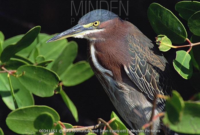 Green-backed Heron (Butorides striatus) alert adult looking for prey, Ding Darling National Wildlife Refuge, Sanibel Island, Florida  -  Yva Momatiuk & John Eastcott