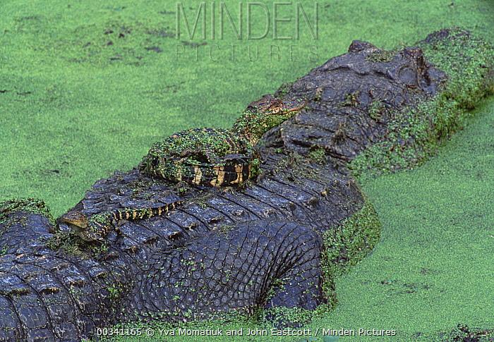 American Alligator (Alligator mississippiensis) mother with offspring resting on her back, wetlands, Lake Martin, Louisiana  -  Yva Momatiuk & John Eastcott