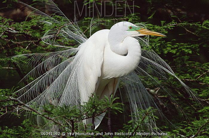 Great Egret (Casmerodius albus) adult displaying plumage, southern Louisiana  -  Yva Momatiuk & John Eastcott
