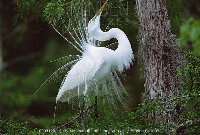 Great Egret (Casmerodius albus) adult, displaying plumage, southern Louisiana  -  Yva Momatiuk & John Eastcott