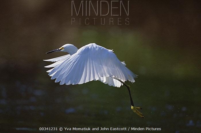 Snowy Egret (Egretta thula) taking flight, Ding Darling National Wildlife Refuge, Sanibel Island, Florida  -  Yva Momatiuk & John Eastcott