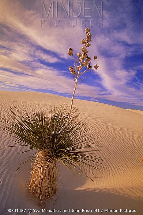Soaptree Yucca (Yucca elata) growing in gypsum sand dunes, White Sands National Monument, New Mexico  -  Yva Momatiuk & John Eastcott