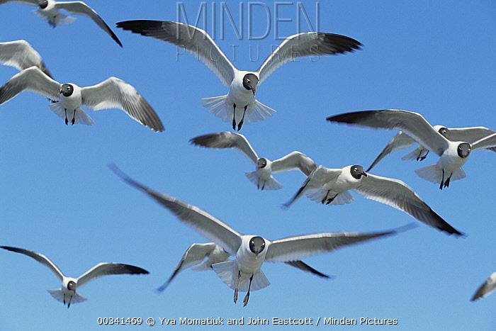 Laughing Gull (Leucophaeus atricilla) flock flying over Atlantic Ocean, near Hatteras Island, North Carolina  -  Yva Momatiuk & John Eastcott