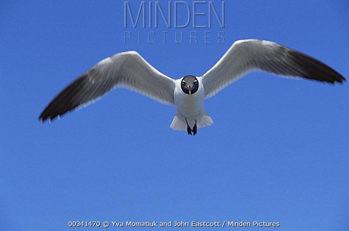 Laughing Gull (Leucophaeus atricilla) flying over Atlantic Ocean, near Hatteras Island, North Carolina  -  Yva Momatiuk & John Eastcott