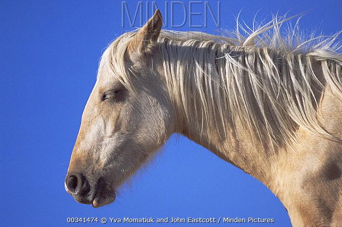 Mustang (Equus caballus) portrait of young palomino mare sleeping while standing, Pryor Mountain Wild Horse Range, Montana  -  Yva Momatiuk & John Eastcott