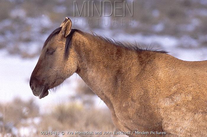 Mustang (Equus caballus) mare sleeping while standing, winter, Pryor Mountain Wild Horse Range, Montana  -  Yva Momatiuk & John Eastcott