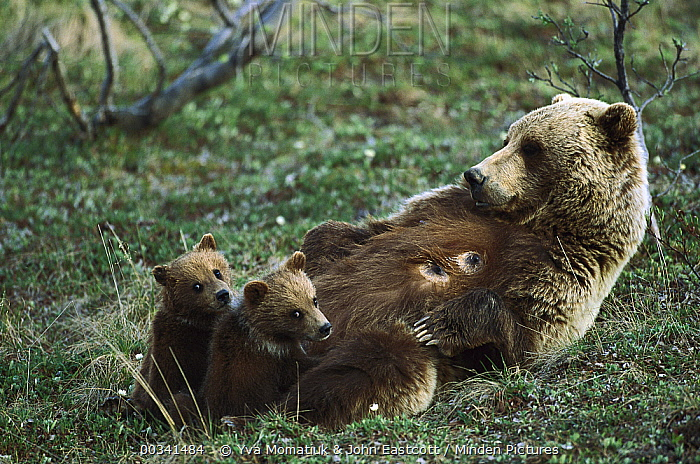 Grizzly Bear (Ursus arctos horribilis) mother nursing her spring cubs, Denali National Park and Preserve, Alaska  -  Yva Momatiuk & John Eastcott