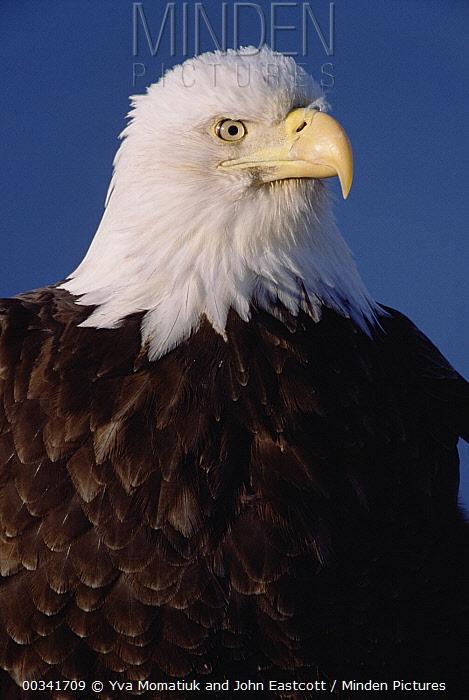 Bald Eagle (Haliaeetus leucocephalus) adult portrait, in spring, south central Alaska  -  Yva Momatiuk & John Eastcott
