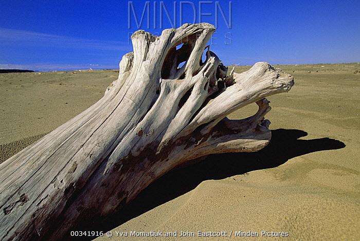Driftwood tree stump on western Brook Pond Beach, Gulf of St Lawrence, Gros Morne National Park, Newfoundland, Canada  -  Yva Momatiuk & John Eastcott