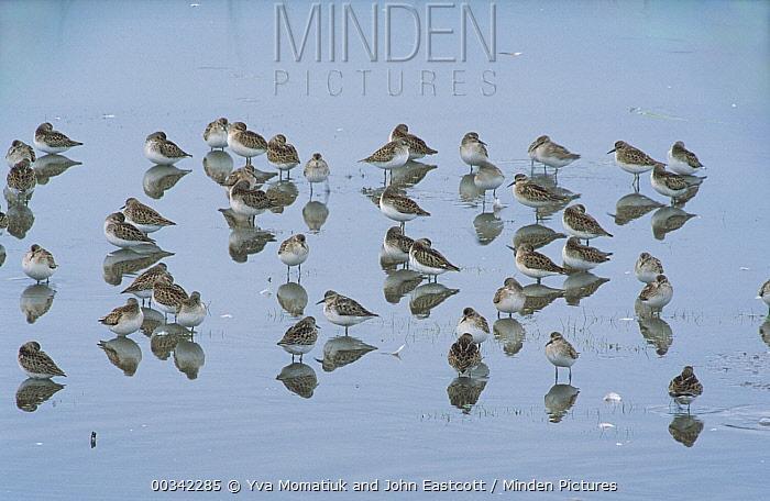 Semipalmated Sandpiper (Calidris pusilla) group wading and feeding in brackish pond during fall migration, Bay of Fundy, Atlantic Ocean, New Brunswick, Canada  -  Yva Momatiuk & John Eastcott