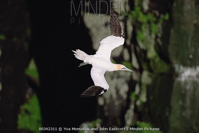 Northern Gannet (Morus bassanus) flying near breeding colony, summer season, Cape St Mary's Ecological Reserve, Newfoundland, Canada  -  Yva Momatiuk & John Eastcott