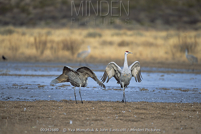 Sandhill Crane (Grus canadensis) pair posturing and dancing prior to departure for nesting grounds up north, spring, Bosque del Apache National Wildlife Refuge, New Mexico  -  Yva Momatiuk & John Eastcott