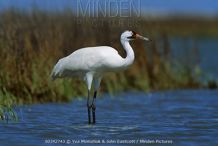 Whooping Crane (Grus americana) in marsh waters at wintering grounds, Aransas National Wildlife Refuge, Texas  -  Yva Momatiuk & John Eastcott