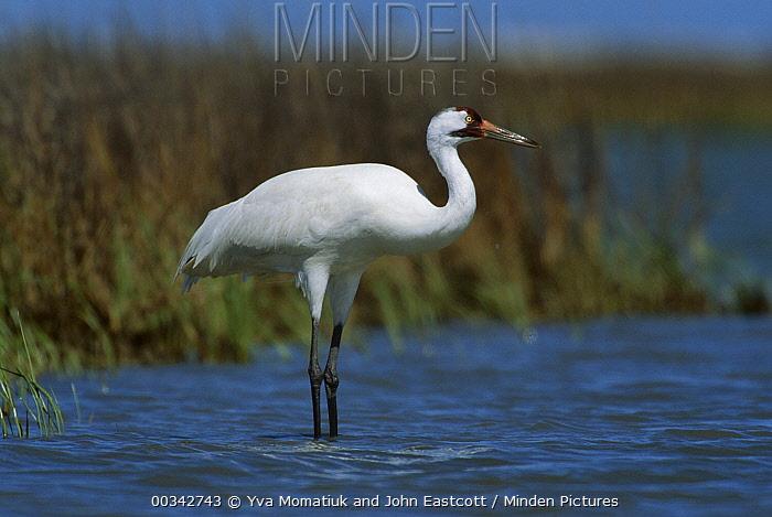 Whooping Crane (Grus americana) in marsh waters at wintering grounds, Aransas National Wildlife Refuge, Texas  -  Yva Momatiuk & John Eastcott