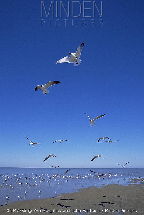 Laughing Gull (Leucophaeus atricilla) adults flying near beach, spring morning, Gulf of Mexico Coast, Texas  -  Yva Momatiuk & John Eastcott