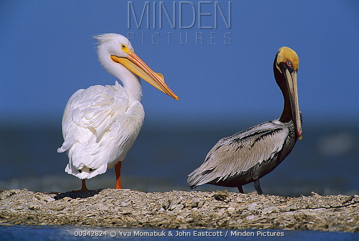 American White Pelican (Pelecanus erythrorhynchos) and Brown Pelican (Pelecanus occidentalis), North America  -  Yva Momatiuk & John Eastcott