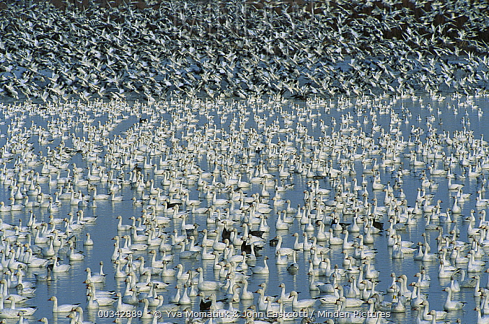Snow Goose (Chen caerulescens) flocks on lake with birds taking flight at wintering grounds, early spring, Bosque del Apache National Wildlife Refuge, New Mexico  -  Yva Momatiuk & John Eastcott