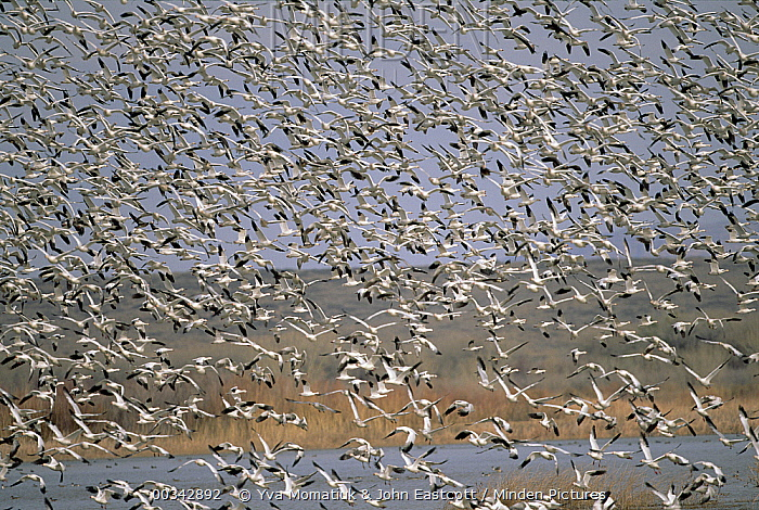 Snow Goose (Chen caerulescens) huge flocks flying at wintering grounds, early spring, Bosque del Apache National Wildlife Refuge, New Mexico  -  Yva Momatiuk & John Eastcott
