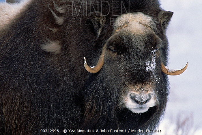Muskox (Ovibos moschatus) in fresh snow, early spring, cow in long winter coat, North Slope, Alaska  -  Yva Momatiuk & John Eastcott