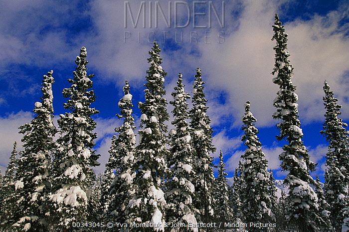 Black Spruce (Picea mariana) trees covered with snow in boreal forest, Alaska  -  Yva Momatiuk & John Eastcott