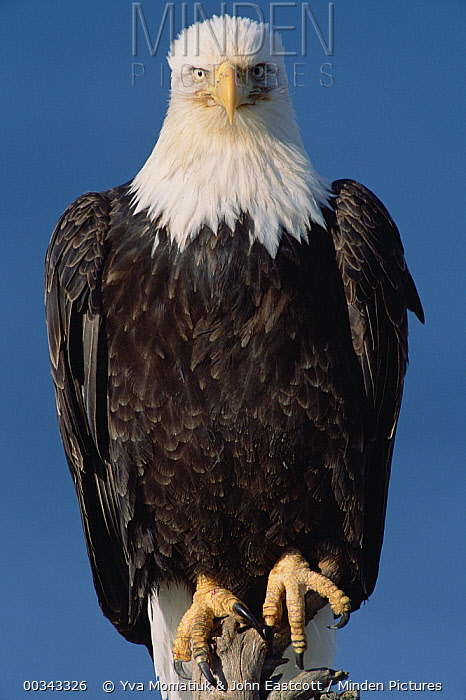 Bald Eagle (Haliaeetus leucocephalus) adult portrait, in spring, south central Alaska  -  Yva Momatiuk & John Eastcott