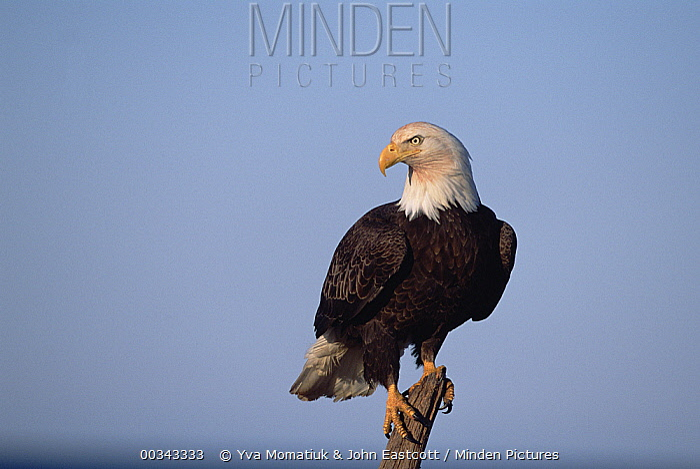 Bald Eagle (Haliaeetus leucocephalus) perched on beach driftwood, spring, south central Alaska  -  Yva Momatiuk & John Eastcott