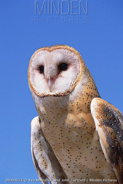 Barn Owl (Tyto alba) portrait against blue sky in desert, spring, Arizona-Sonora Desert Museum, Arizona  -  Yva Momatiuk & John Eastcott