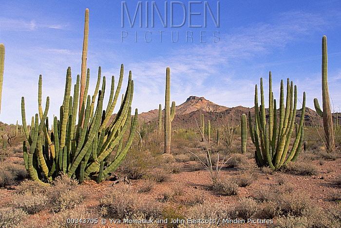 Organ Pipe Cactus (Stenocereus thurberi) with many stalks, spring evening, during drought year, Organ Pipe Cactus National Monument, Arizona  -  Yva Momatiuk & John Eastcott