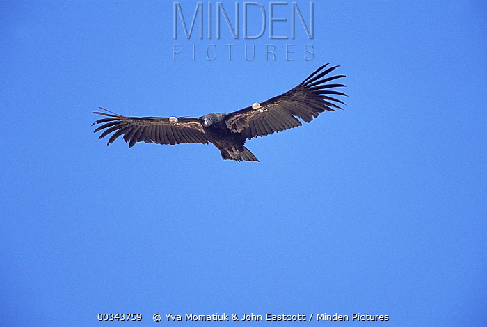 California Condor (Gymnogyps californianus) immature bird flying with transmitter attached, critically endangered extinct in wild and recently re-introduced, 9-10 foot wingspan, Marble Canyon, Arizona  -  Yva Momatiuk & John Eastcott