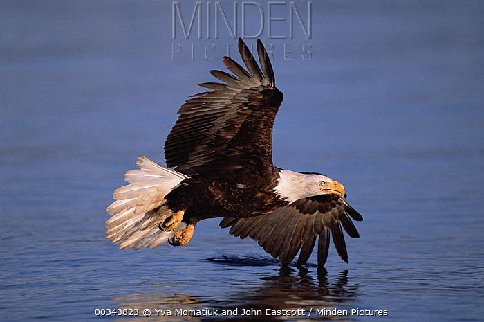 Bald Eagle (Haliaeetus leucocephalus) adult flying above sea in the spring, Kenai Peninsula, south central Alaska  -  Yva Momatiuk & John Eastcott