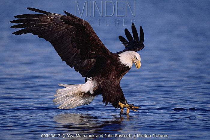 Bald Eagle (Haliaeetus leucocephalus) fishing in the sea, spring, Kenai Peninsula, south central Alaska  -  Yva Momatiuk & John Eastcott