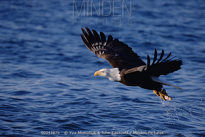 Bald Eagle (Haliaeetus leucocephalus) adult flying with fish it caught in sea in the spring, Kenai Peninsula, south central Alaska  -  Yva Momatiuk & John Eastcott