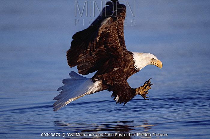 Bald Eagle (Haliaeetus leucocephalus) adult fishing in sea in the spring, Kenai Peninsula, spring, south central Alaska  -  Yva Momatiuk & John Eastcott