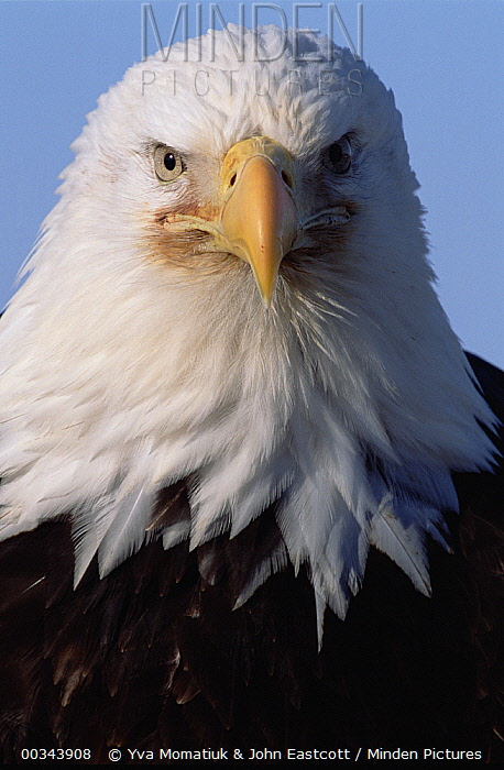 Bald Eagle (Haliaeetus leucocephalus) adult portrait, spring, south central Alaska  -  Yva Momatiuk & John Eastcott