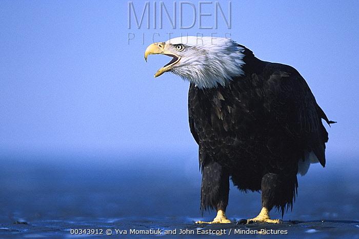Bald Eagle (Haliaeetus leucocephalus) adult vocalizing, spring, south central Alaska  -  Yva Momatiuk & John Eastcott