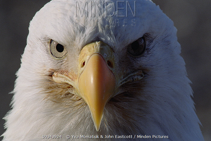 Bald Eagle (Haliaeetus leucocephalus) close-up portrait, spring, south central Alaska  -  Yva Momatiuk & John Eastcott