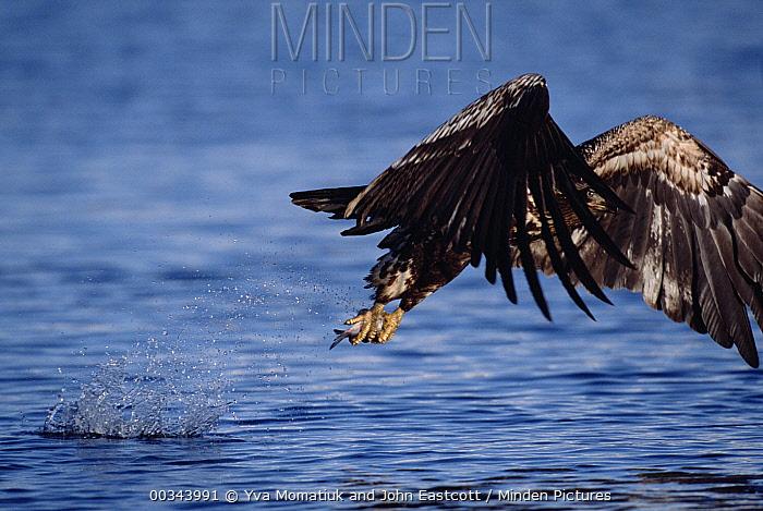 Bald Eagle (Haliaeetus leucocephalus) immature bird flying with fish it caught in the sea, spring, south central Alaska  -  Yva Momatiuk & John Eastcott