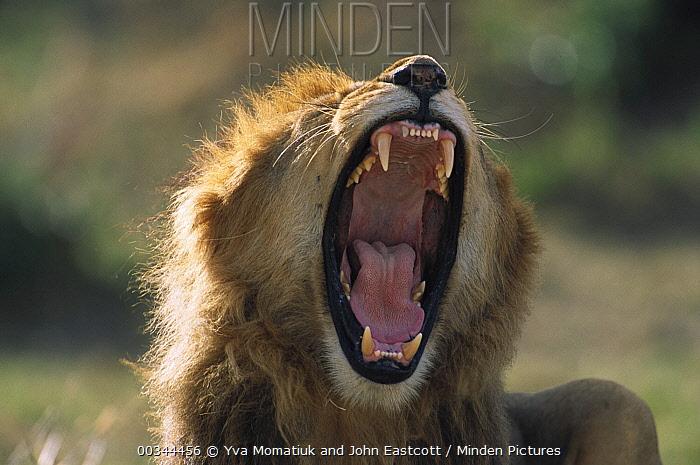 African Lion (Panthera leo) adult male with full mane roaring to assert dominance, Masai Mara National Reserve, Kenya  -  Yva Momatiuk & John Eastcott