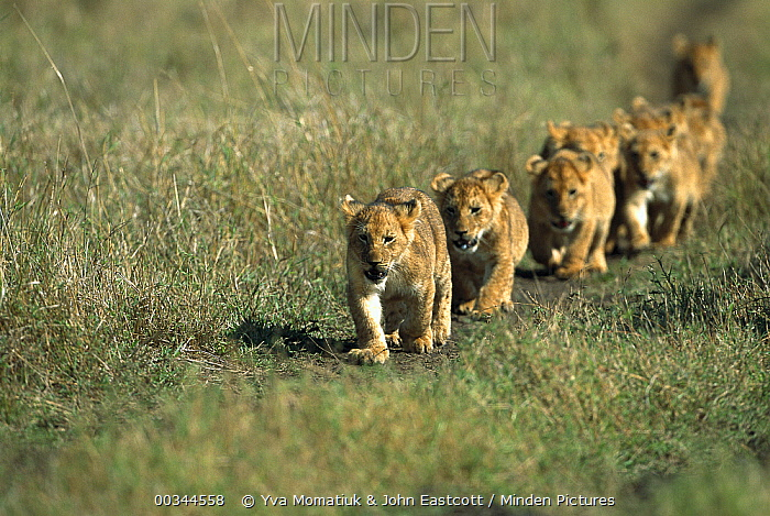 African Lion (Panthera leo) group of cubs walking together following African Lionesses of their pride, Masai Mara National Reserve, Kenya  -  Yva Momatiuk & John Eastcott