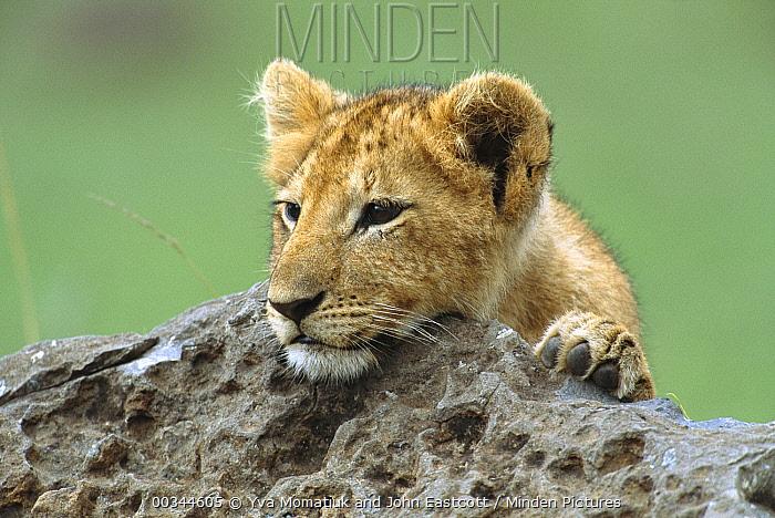 African Lion (Panthera leo) three month old cub peeking from behind boulder, Masai Mara National Reserve, Kenya  -  Yva Momatiuk & John Eastcott