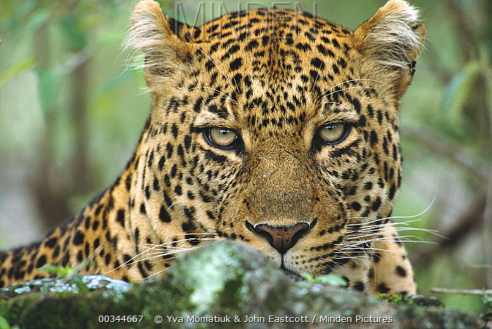 Leopard (Panthera pardus) large male resting after hunt and devouring its kill, Masai Mara National Reserve, Kenya  -  Yva Momatiuk & John Eastcott
