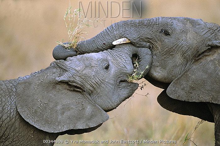 African Elephant (Loxodonta africana) five year old male calves play push and pull games to test strength and establish dominance, Masai Mara National Reserve, Kenya  -  Yva Momatiuk & John Eastcott