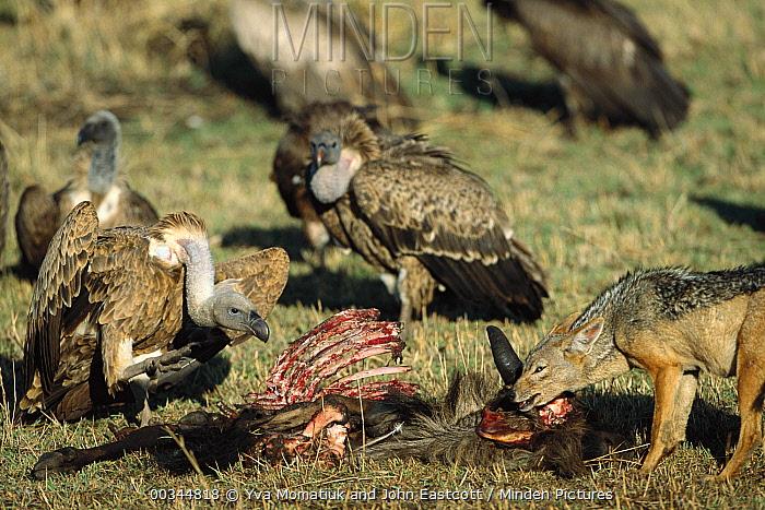 Black-backed Jackal (Canis mesomelas) female trying to claim wildebeest carcass from hungry vultures, Masai Mara National Reserve, Kenya  -  Yva Momatiuk & John Eastcott