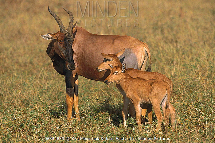 Topi (Damaliscus lunatus) mother with calves, Masai Mara National Reserve, Kenya  -  Yva Momatiuk & John Eastcott